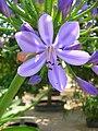 Agapanthus praecox ssp orientalis 02.jpg