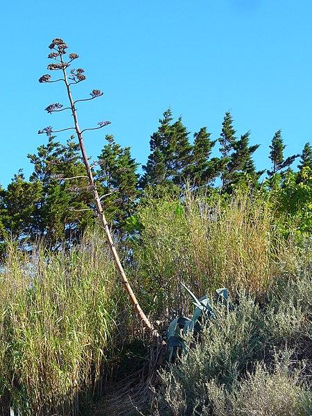 Agave americana, Agavaceae, Century Plant, Maguey, habitus. Leucate, France.