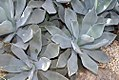 Agave potatorum 0zz.jpg