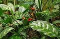 Aglaonema marantifolium ÖBG 2012-05-17 03.jpg