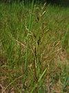 Agrostis capillaris.jpeg