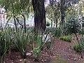 Ahuehuete de 1921, Parque España, Ciudad de México.jpg
