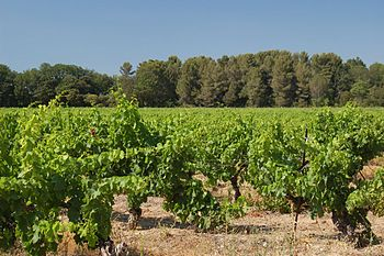 Vineyard in the Aix-en-Provence wine region.