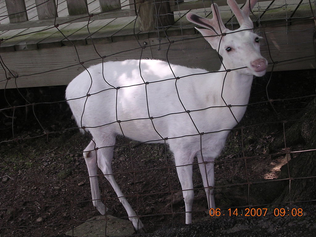Albino White-tailed Deer (male)
