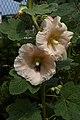 Alcea rosea B.jpg