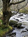 Alder tree beside the Afon Colwyn, Beddgelert Forest campsite - geograph.org.uk - 1382342.jpg