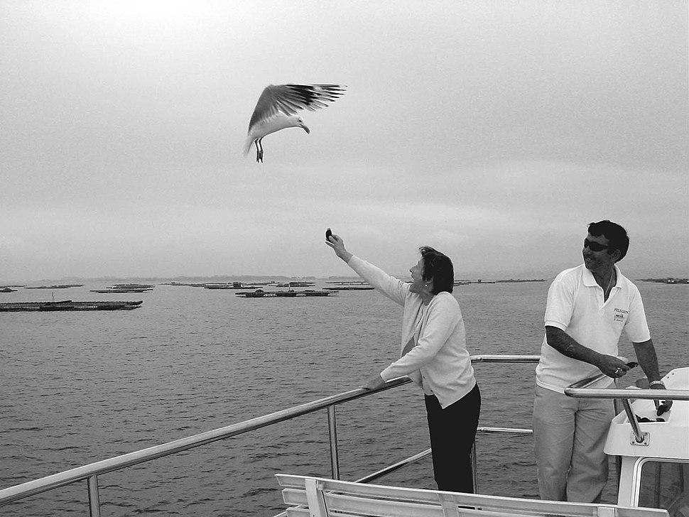 Alimentando gaivotas com mexillón nas Rías Baixas