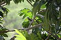 Allenia fusca in Coulibistrie-a03.jpg