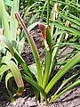 Allium hollandicum Purple Sensation Czosnek 2015-05-17 05.jpg