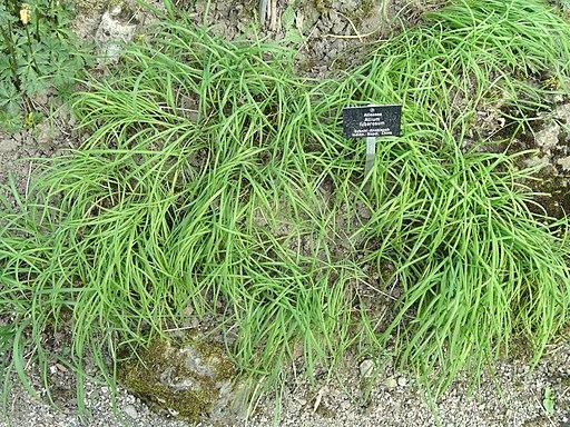 Allium tuberosum - Botanischer Garten Freiburg - DSC06435
