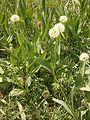Allium victorialis RHu 01.JPG