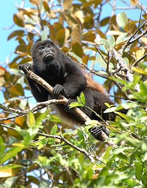 Simarouba amara - A mantled howler, one animal that disperses the seeds of S. amara