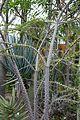 Alluaudia humbertii -Jardin des plantes de Nantes (3).jpg