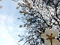 Almond Tree Flowers.jpg