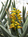 Aloe dichotoma (8442814641).jpg
