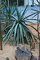 Aloe suzannae 07 03 Philweb (19356462386).jpg