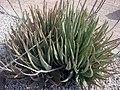 Aloe vera offsets.jpg