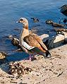 Alopochen aegyptiaca - Egyptian geese family - Nilgans-Familie - Frankfurt Main Sindlingen - 02.jpg