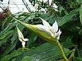 Alpinia nutans Muse - Flower 01.jpg