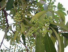 Alstonia scholaris leaves and flowers.JPG