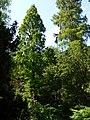 Alter Botanischer Garten Kiel Urweltmammutbaum.jpg
