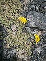 Alyssum cuneifolium 002.JPG