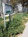 Amaranthus viridis sl25.jpg