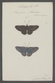 Amarynthis - Print - Iconographia Zoologica - Special Collections University of Amsterdam - UBAINV0274 049 20 0038.tif