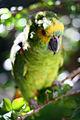 Amazona aestiva -Brazil-8.jpg