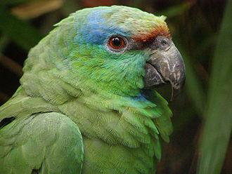 Festive amazon - Amazona f. festiva