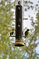 American Goldfinches (Spinus tristis) - Guelph, Ontario.jpg