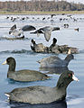 American coot From The Crossley ID Guide Eastern Birds.jpg