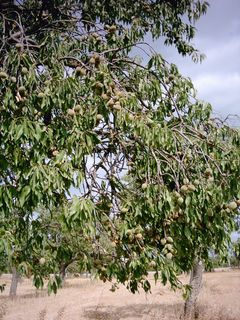 Almond tree with ripening fruit. Mallorca, Spain.