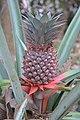 Ananas comosus at Peravoor (3).jpg