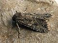 Anarta trifolii - The Nutmeg - Садовая совка клеверная (40349451014).jpg