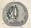 Anatomy of an earthworm 001.png