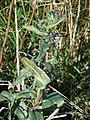Anchusa-officinalis-1000296.JPG