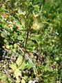 Androsace maxima sl55.jpg