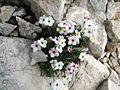 Androsace villosa PID1450-1.jpg