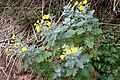 Andryala pinnatifida kz25.jpg