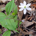 Anemone acutiloba 1249.jpg