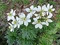 Anemone narcissiflora L. (7472169640).jpg