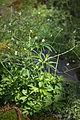Anemone rivularis 03.jpg