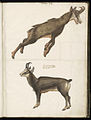 Animal drawings collected by Felix Platter, p2 - (128).jpg