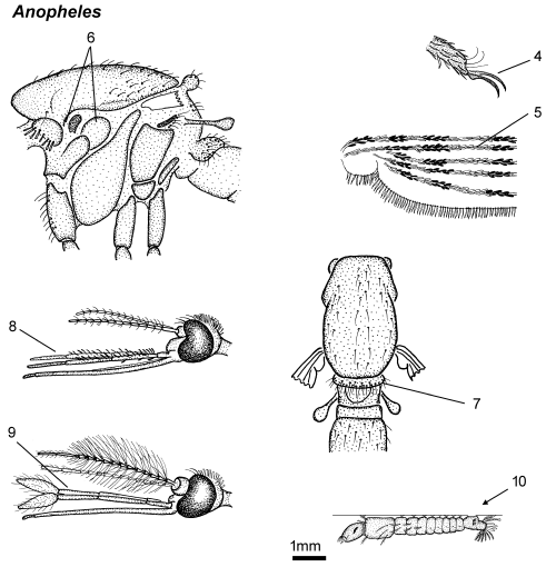 Anopheles thorax parts.png