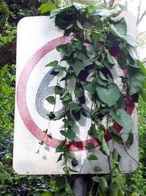 Anredera cordifolia - Invasive species: Anredera cordifolia growing over a speed limit sign in Sydney, Australia.