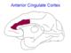 Anterior Cingulate Cortex.png