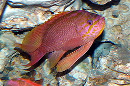Szent sügér (Anthias anthias)