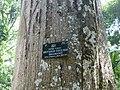 Antiaris toxicaria-Jardin botanique de Kandy (1).jpg