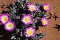 Antimima ventricosa = Ruschia ventricosa (Aizoaceae) (23647439668).jpg